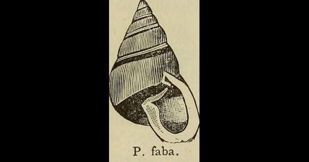 partula_faba