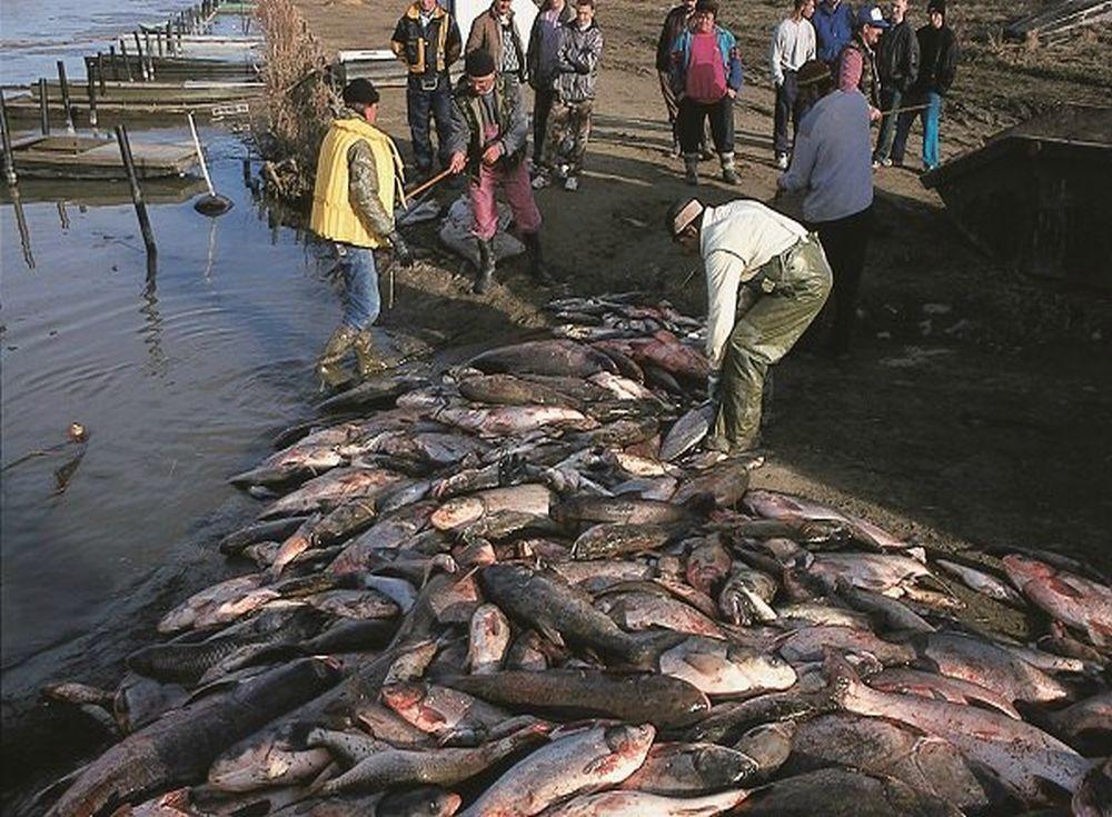 Deversari de cianura Baia Mare - dezastre ecologice