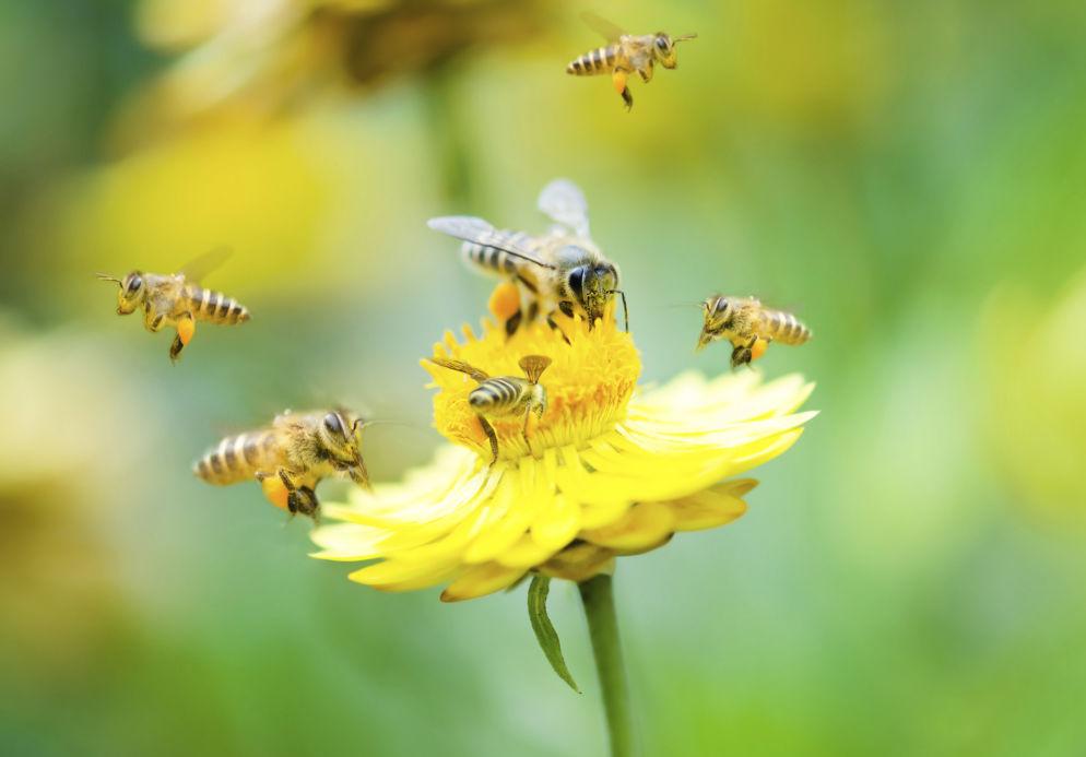 despre albine, ecologie